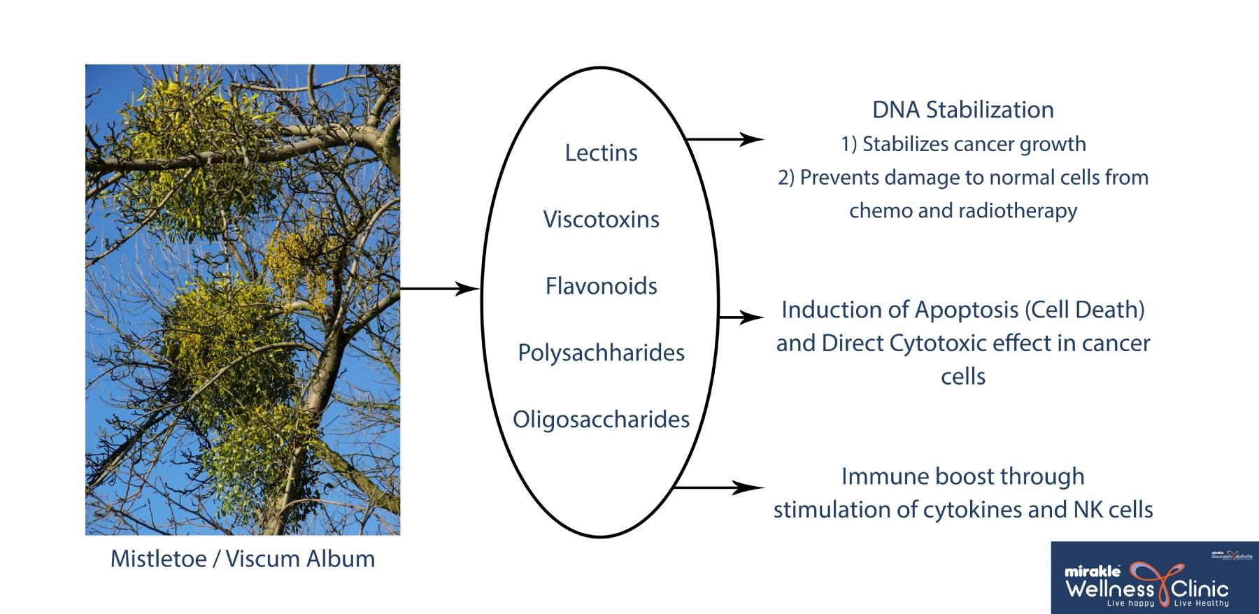 Mistletoe Working Process